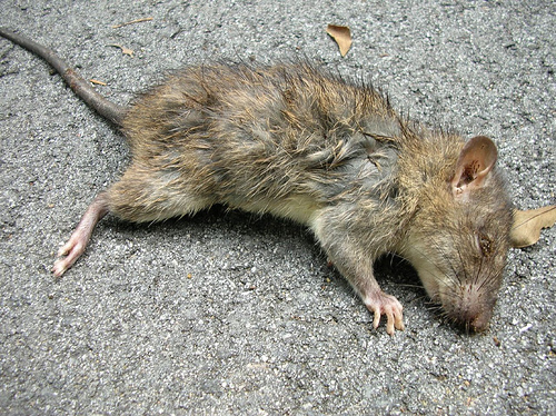 If Rat Bit Our Food Can We Eat It