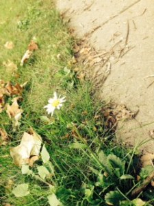 the last end of summer daisy on my walk to the bus stop