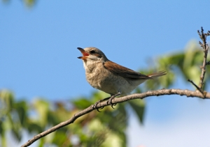 birdsinging